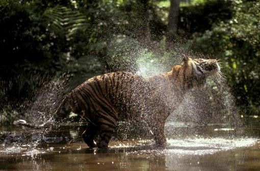 10 Tiger Sumatra