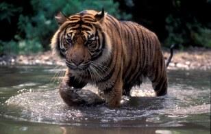 30 Tiger Sumatra