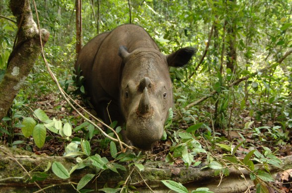 Sumatran Rhinoceros 122