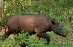 Alain Compost - Sumatran Rhino walking in Forest - Lampung Sumatra