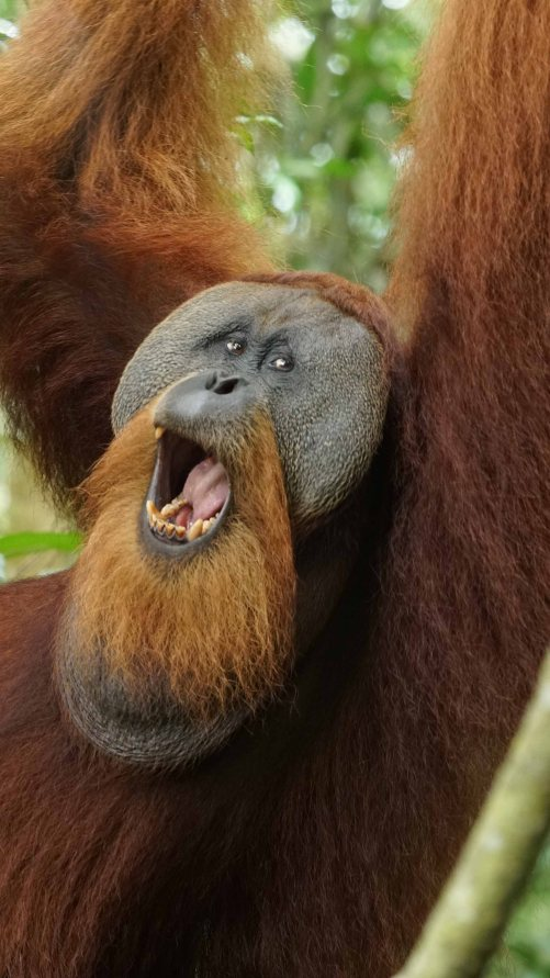 Orangutan male Sumatra opening mouth1