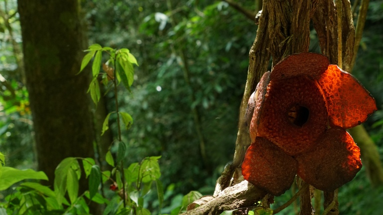 Raflesia Acheensis Batu Katak