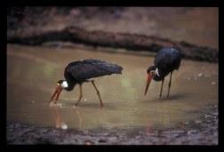 Stormy stork - Ciconia stormi - Waykambas - Sumatera - 21